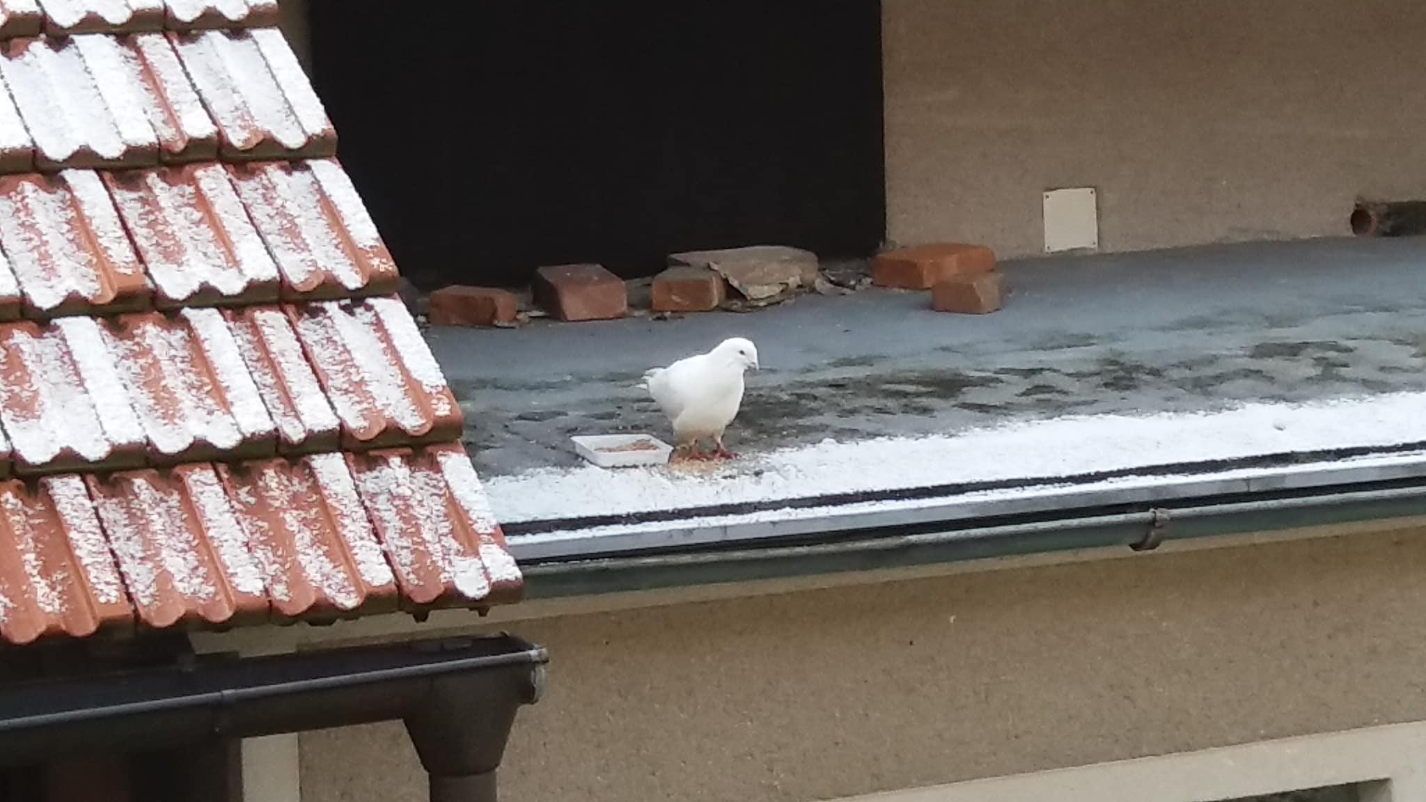Bílý holub