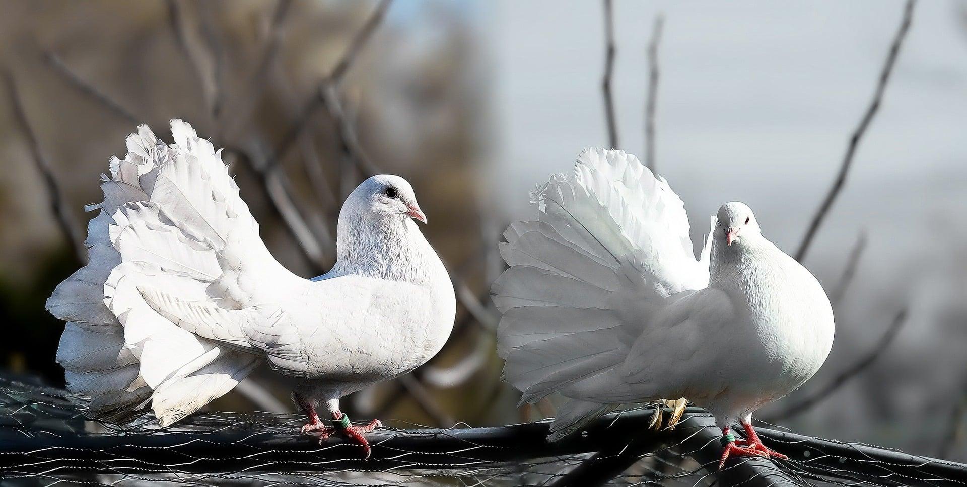 Bílý holub na střeše nám štěstí přinese?